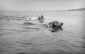 E.L. Doctorow with Becky. a Weimaraner, swimming in Gardiner's Bay, Ny August 3, 1975