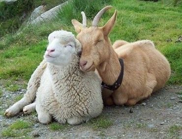 happy-sheep-goat